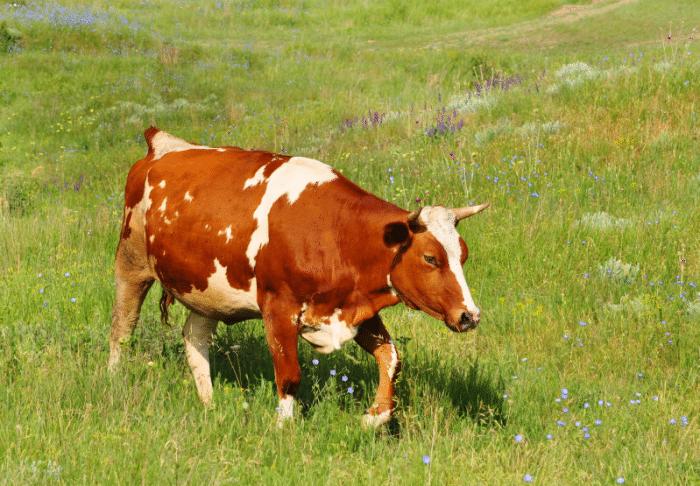 Krowa polska czerwono-biała. Bydło polskie czerwono białe - wzorzec rasy