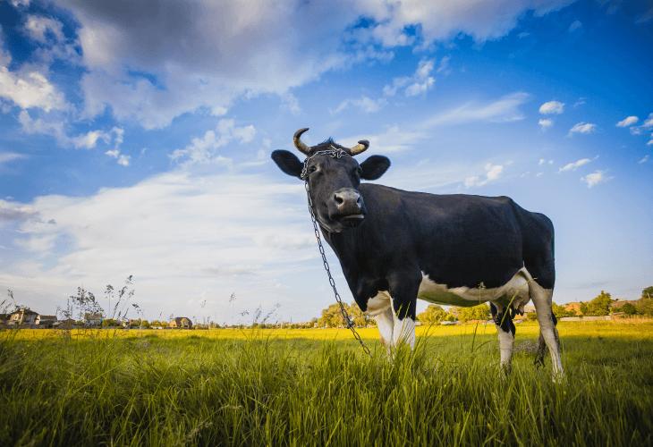 Krowa polska czarno-biała