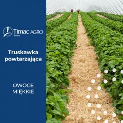 Truskawka powtarzająca owocowanie, odmiany, uprawa