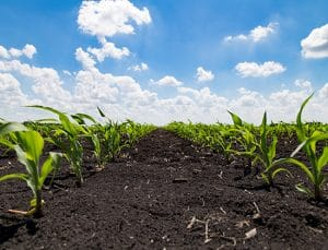 Early establishment and stand count in corn