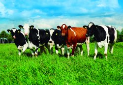 Bovinos de leche