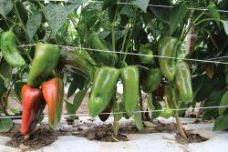 Paprika zelena, bela, ljuta