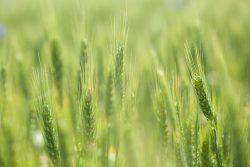 Cultivo del cereal