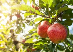 Cultivo árbol frutal