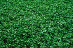 Alfalfa cultivo