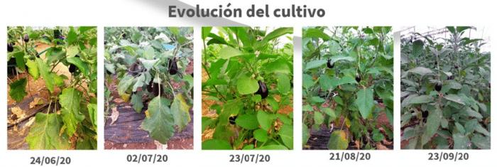 Resultados probados TUSAL, fungicida biológico